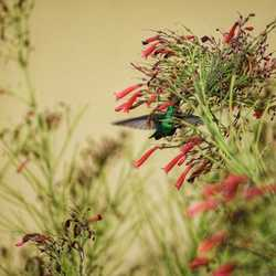 Blue-tailed Emerald, Hummingbird