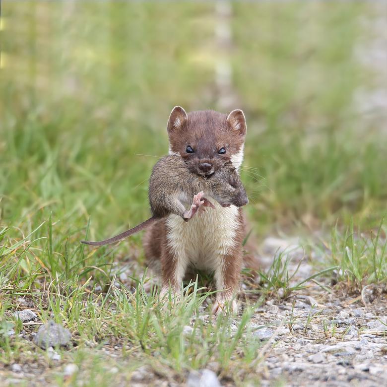 hermelijn met muis - ik was zo fortuinlijk dat een hermelijn zich goed verkocht voor de camera. Hier heeft hij een muis te pakken waar hij een tijdje