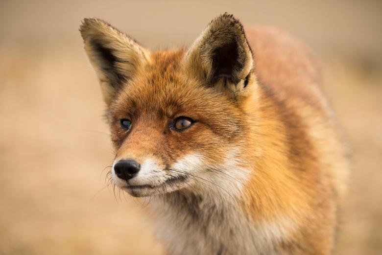 Close up van een vosje