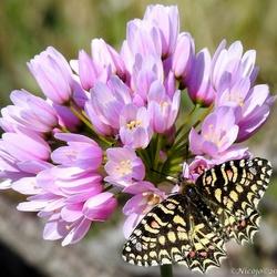 Spaanse pijpbloemvlinder op de Allium
