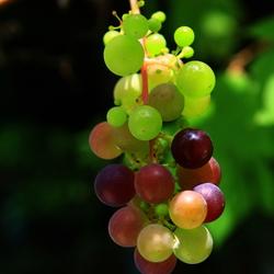 Lekker druiventrosje van me