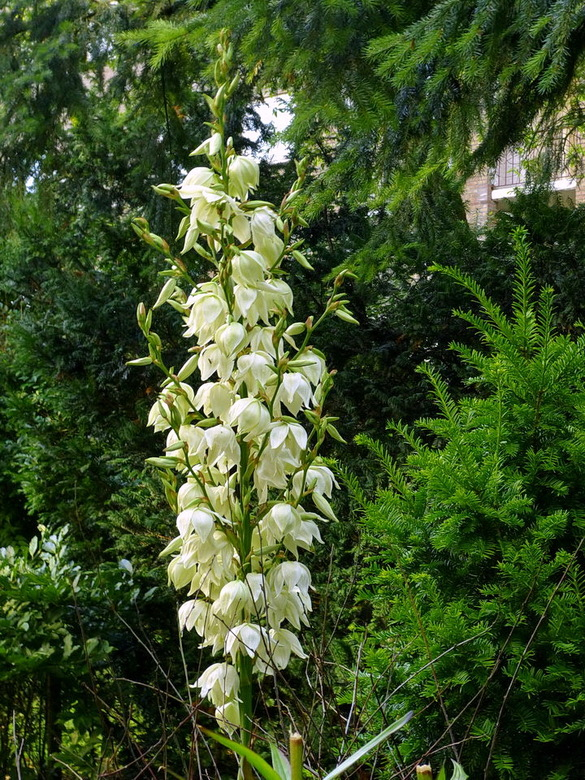Yucca. - plant in eigen tuin.<br /> <br />  29 juli 1212.<br /> Groetjes, Bob.