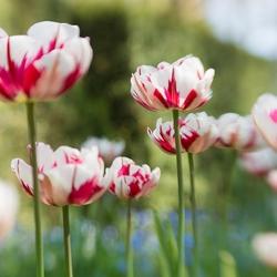 Tulpen.....