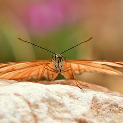 Passiebloem vlinder, frontaal