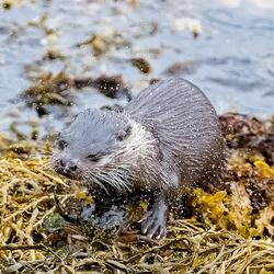 Otter in Schotland