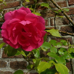 Roze roos.
