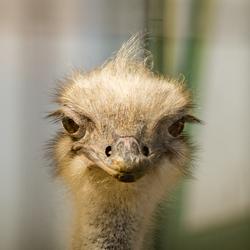 Struisvogel Artis