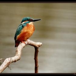 Alcedo atthis ( ijsvogel ) ll