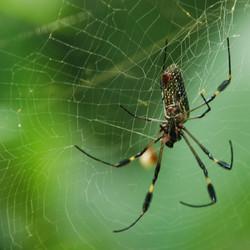 Spinneweb of kogelvrijvest