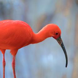 Rode ibis 1