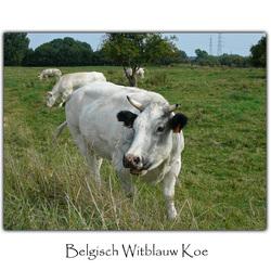 Belgisch Witblauw Koe