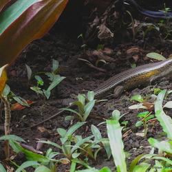 Een Kadal of te wel Salamander