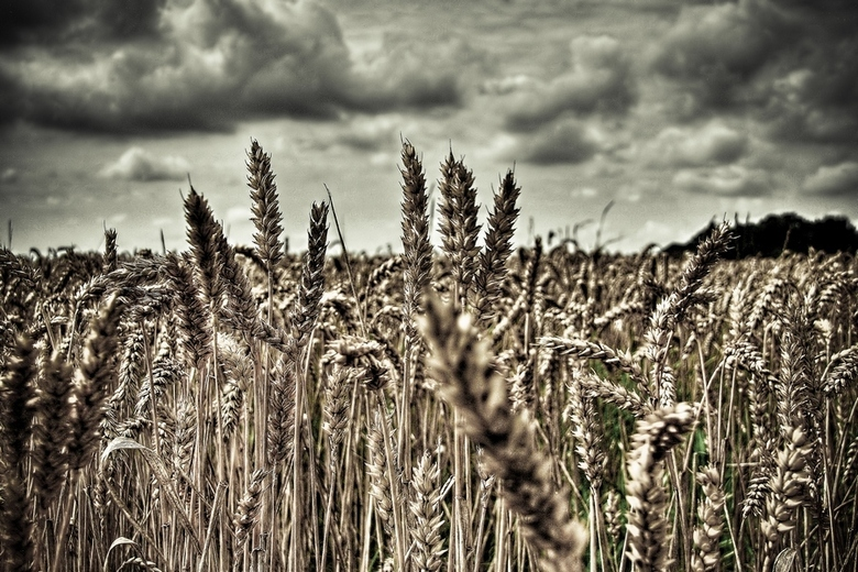Field of gold -