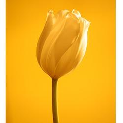 Yellow Tulip 2