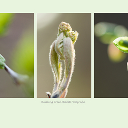 Budding Green