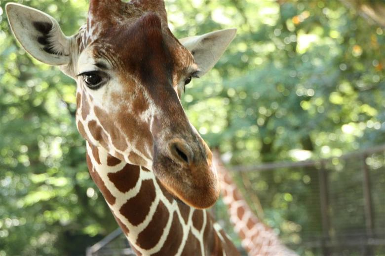 Giraffe - Op de foto gezet in Artis