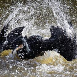 Aalscholver spat in het water