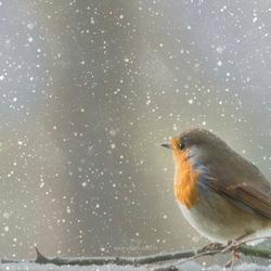 Roodborstje- winter