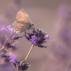 Lavendel...sprookje :D