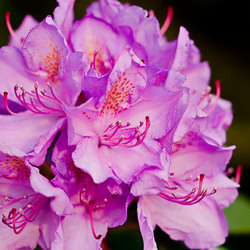 Rhododendron in volle bloei_DSC0756