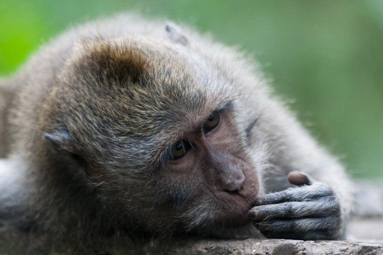 Diep in gedachte - Monkey forest, makaak