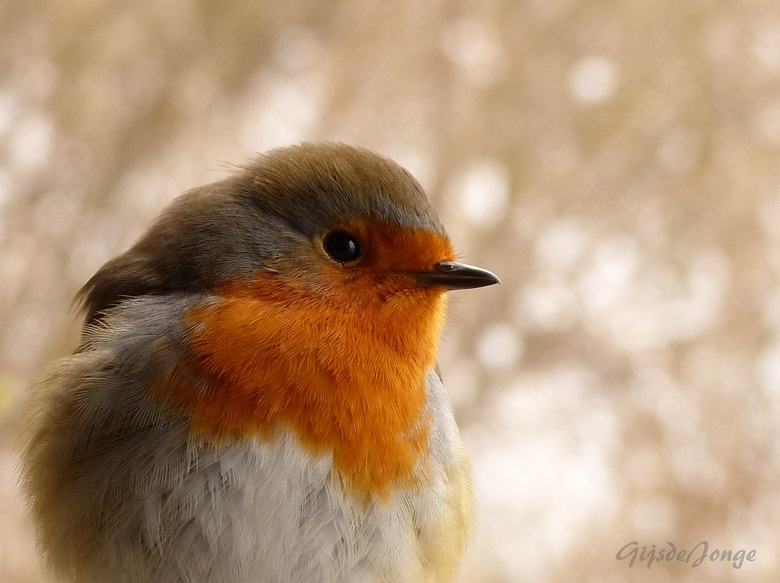 Roodborstje - Hoi hoi Zoomers,<br /> <br /> Dit nieuwsgierige roodborstje kwam afgelopen winter heel dichtbij op zoek naar voedsel.<br /> <br /> G