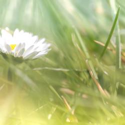 Madelief-tussen-het-gras