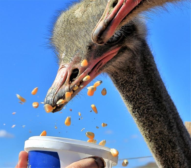 Gulzig - Mais gaat er wel in bij de altijd hongerige struisvogels
