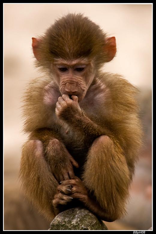 Baby baviaantje - Een klein, eigenwijs baviaantje uit de Beekse Bergen