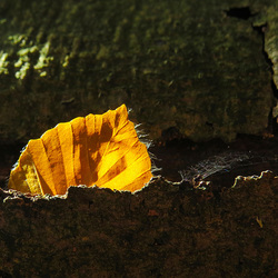 Goud tussen boomschors
