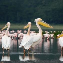 Pelikaan Lake Nakuru