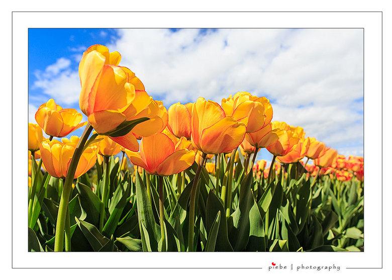 """Gele tulpen - Hierbij wederom een foto van de tulpenvelden in de noord oost polder.<br /> <br /> Groet Piebe<br /> <a href=""""http://www.piebevandenb"""
