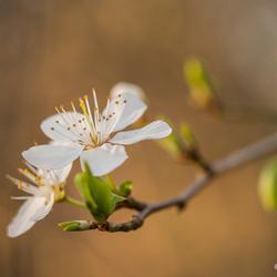 Vroege bloei