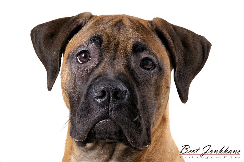 koppie - Prachtig koppie van deze Bull Mastiff puppie.