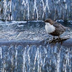 Waterspreeuw in waterval
