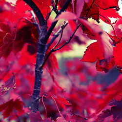 Rood blad van de Acer