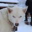 Sleehond (Alaskan Husky)