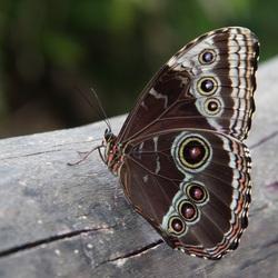 Azuurvlinder (Morpho peleides)....