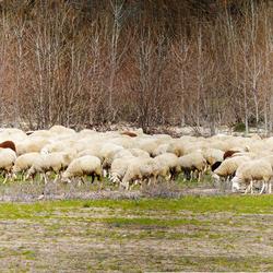via verde de Eresma schapen