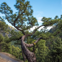 La Palma - Canarische pijnboom bij La Cumbrecita