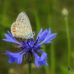 Icarusblauwtje op een korenbloem