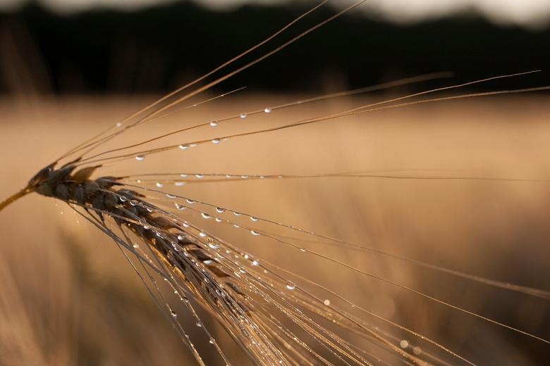 graan op een zomerse regen avond - Een beetje regen op een mooie zonnige avond levert soms aardige platen op..