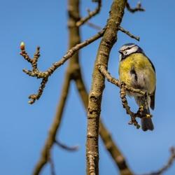 PIMpelmees leert vliegen, lente in het land