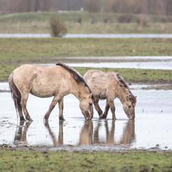 soaking grass at Oostvaardersveld