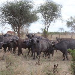 Tanzania - buffels