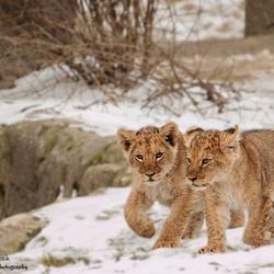 Leeuwen welpjes