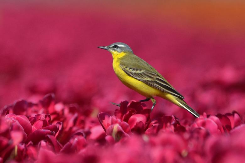 Gele Kwikstaart - Om de gele Kwikstaart goed voor je lens te krijgen heb je geduld en geluk nodig.<br /> Toch wel een paar uur naast het tulpenveld g