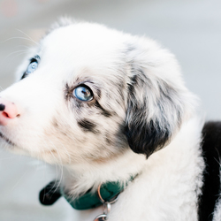 Australian Shepherd/Bordercollie