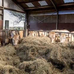 Blonde d'Aquitaine koeien op stal