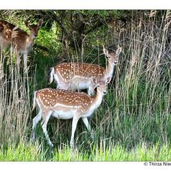 Lucky Deer